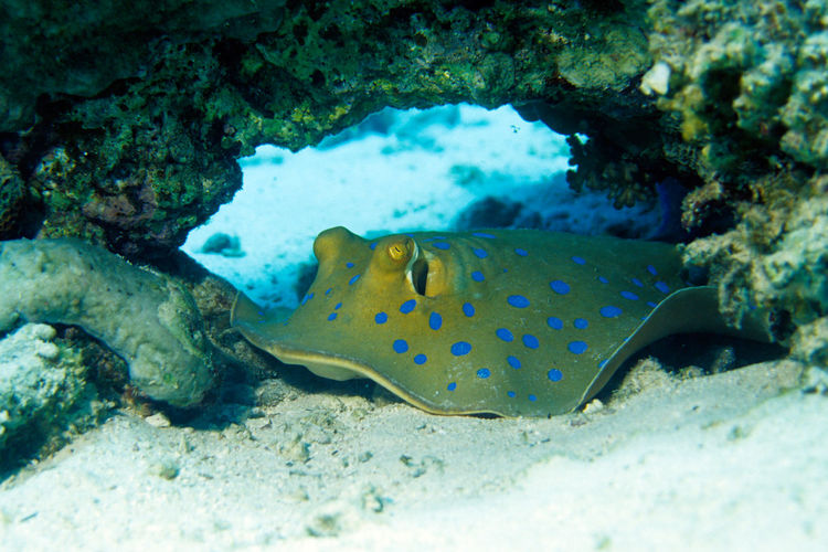 blue spotted Stingray Egypt Nature Ray Relaxing Sealife Tropics UnderSea Animal Themes Animal Wildlife Animals In The Wild Blaupunkt-stechrochen Blaupunktrochen Blue-spotted Stingray Coral Fish Marine Life Red Sea Rochen Sea Life Sky Stachelrochen Stechrochen Stingray Tropical Underwater