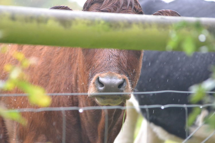 Close-up Cow