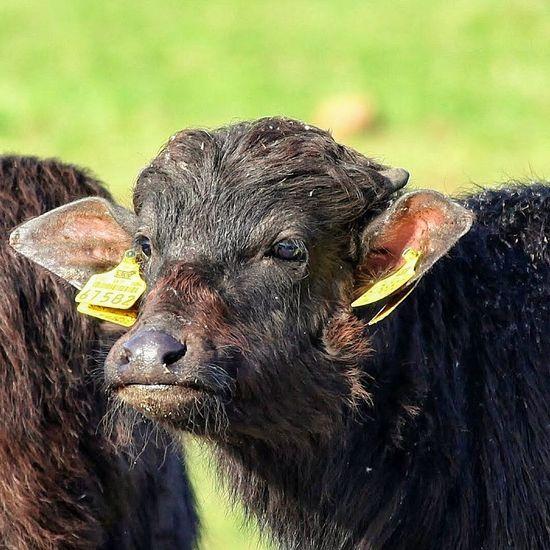 Wasserbüffelkälbchen Animal Themes Calf Close-up Day Domestic Animals Livestock Mammal No People One Animal Outdoors Portrait
