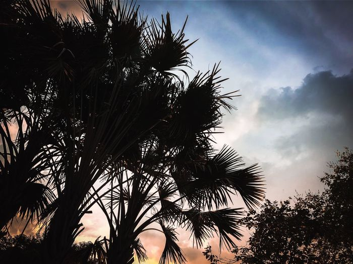 Plant Sky Tree Low Angle View Growth Silhouette Cloud - Sky Tranquil Scene Tropical Climate Sunlight Leaf Scenics - Nature Day Outdoors Branch Palm Tree No People Beauty In Nature Tranquility Nature