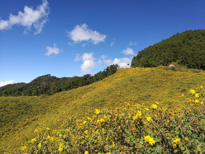 Thung Bou Tong Field, Doing Mae U Kho, Mae Hong Song Nature Beauty In Nature Flower
