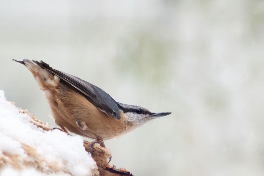 Eurasian nuthatch (Sitta europaea) in the snow, a small passerine bird, blurred gray background with copy space Birding Sitta Europaea Winter Animal Themes Animal Wildlife Animals In The Wild Bird Day Eurasian Nature No People Nuthatch One Animal Outdoors Passerine Perching Snow
