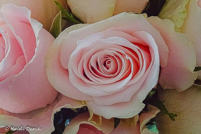 Roses Flower Head Flower Backgrounds Full Frame Petal Close-up Rose - Flower Wild Rose Single Flower Single Rose