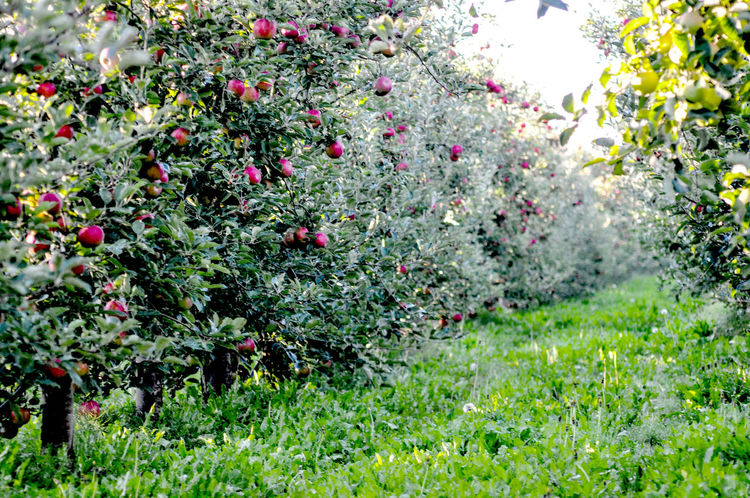 apples Apple Apple Fruit Apple Fruit Red Apple Container Orchard Red Apple Vitamin C
