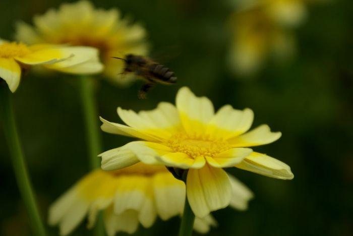 Growing Better 春菊 Flowers Yellow Flower Bee Small And Swift HoneyBee Plants And Flowers Secret Garden Nature