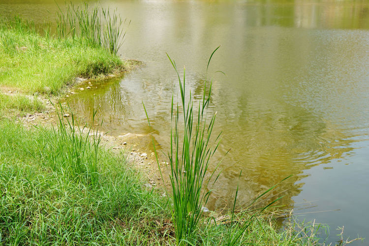Grass growing in lake
