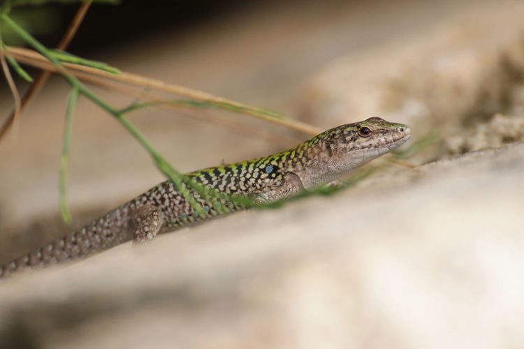 Sicilian wall lizard Nature Sicily Animal Animal Head  Animal Themes Animal Wildlife Animals In The Wild Close-up Cute Day Green Color Italy Lizard Nature No People One Animal Outdoors Plant Reptile Selective Focus Sicilian Wall Lizard Tail