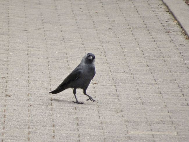 Animal Wildlife Animals In The Wild Bird Black Color City Day Footpath Full Length High Angle View Mammal Nature No People One Animal Outdoors Perching Sunlight Vertebrate