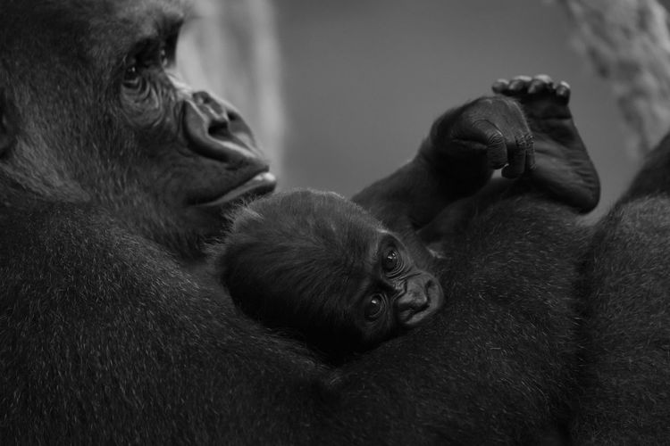 Animal Animal Family Animal Themes Animal Wildlife Animals In The Wild Black And White Black And White Photography Female Animal Focus On Foreground Gorilla Gorilla Gorilla Gorilla Gorilla Gorilla Gorillas Indoors  Infant Mammal Monkey Monochromatic Monochrome Monochrome Photography Nature Togetherness Two Animals Wildlife Young Animal