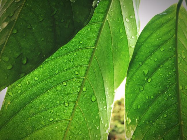 Leaves and rain Leaves 🍁 Green Color Drop Leaf Plant Part Water Close-up Growth Nature Beauty In Nature Plant Rain Outdoors Leaves RainDrop No People Freshness Leaf Vein