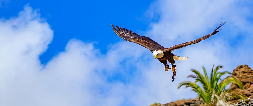 Flying Spread Wings Animal Wildlife Bird Animal Themes Animal Animals In The Wild One Animal Vertebrate Bird Of Prey Mid-air Cloud - Sky Sky Low Angle View Nature Day Blue No People Motion Outdoors Eagle Seagull Falcon - Bird