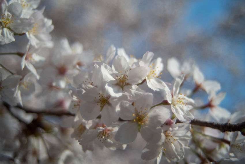 Beauty In Nature Cherry Blossom Close-up Day Flower No People Outdoors Springtime