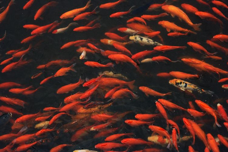 Koi carps swimming underwater