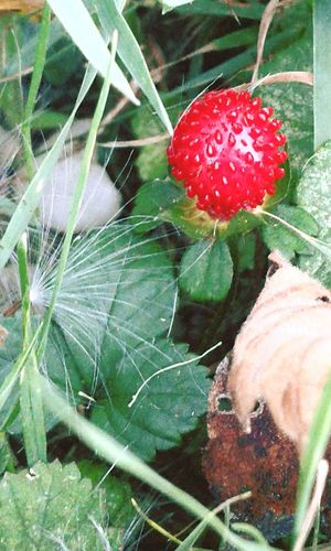 Wildlife & Nature Strawberry Greenery Outdoor Photography Bright_and_bold In The Field Eye For Photography Photos Around You Ohio, USA Landscape #Nature #photography