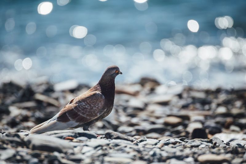 Pigeon at beach on sunny day