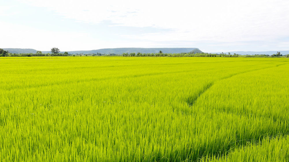 Green Background Plant Agriculture Rice - Food Staple Rice - Cereal Plant Rice Field Thailand_allshots No People Lush Foliage Food Outdoors Fragility Full Frame Rice Paddy Beauty In Nature Cereal Plant Plant Field Freshness Day Agriculture Backgrounds Growth Nature Green Color Field Landscape