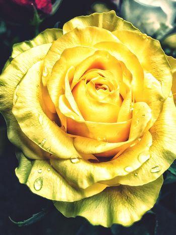 Rose - Flower Close Up Rose Petals Yellow Flower