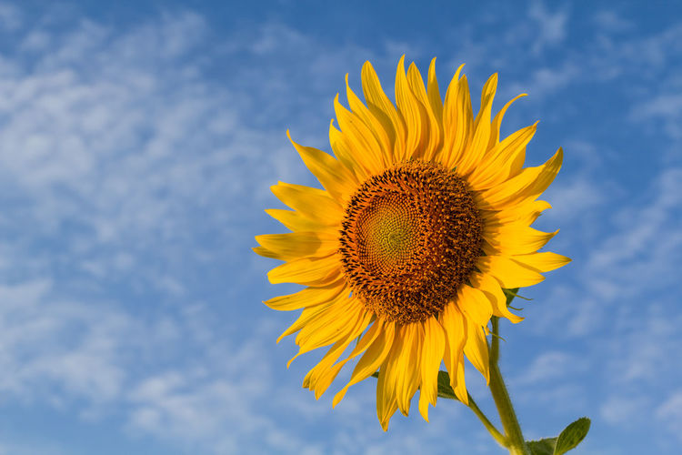 Beautiful sunflower with cloud and blue sky Yellow Flower Flowering Plant Fragility Vulnerability  Plant Freshness Flower Head Beauty In Nature Petal Sunflower Growth Inflorescence Sky Pollen Close-up Nature No People Day Outdoors Sepal