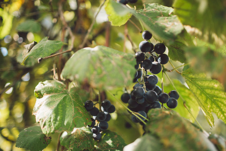 Vine Vineyard Plant Harvest Harvesting Harvest Time Autumn Fruit Healthy Eating Food And Drink Food Growth Leaf Plant Part Freshness Wellbeing Close-up Grape Nature Green Color Tree Berry Fruit Day Ripe No People Bunch Outdoors Organic Winemaking Plantation