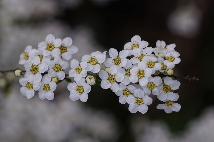 Flower Flowering Plant Fragility Vulnerability  Freshness Plant Beauty In Nature Growth Petal Flower Head Close-up Inflorescence Nature No People Selective Focus Day Blossom Springtime Focus On Foreground White Color Outdoors Pollen Cherry Blossom