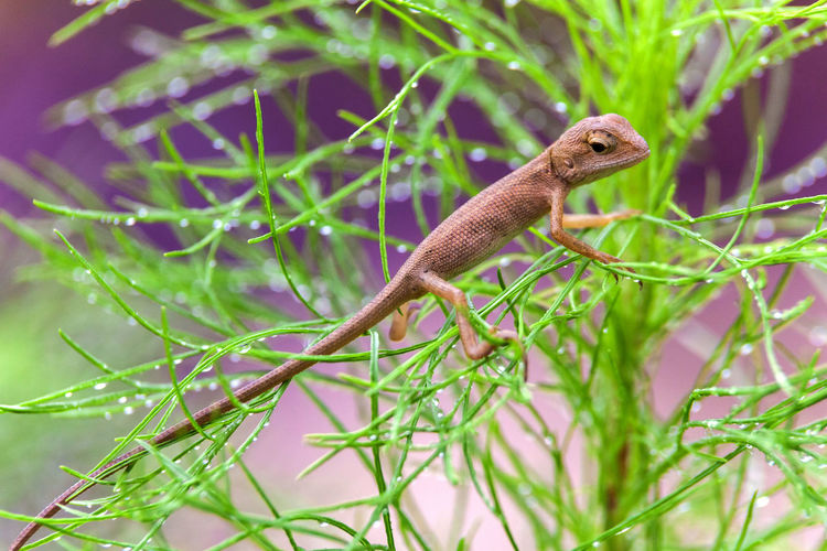 Real lizard resting on a wet green leaf with blur background One Animal Animal Themes Animal Wildlife Animals In The Wild Animal Plant Vertebrate No People Green Color Nature Selective Focus Day Outdoors Lizard Lizards Lizard Watching Lizard Nature Lizard Close Up