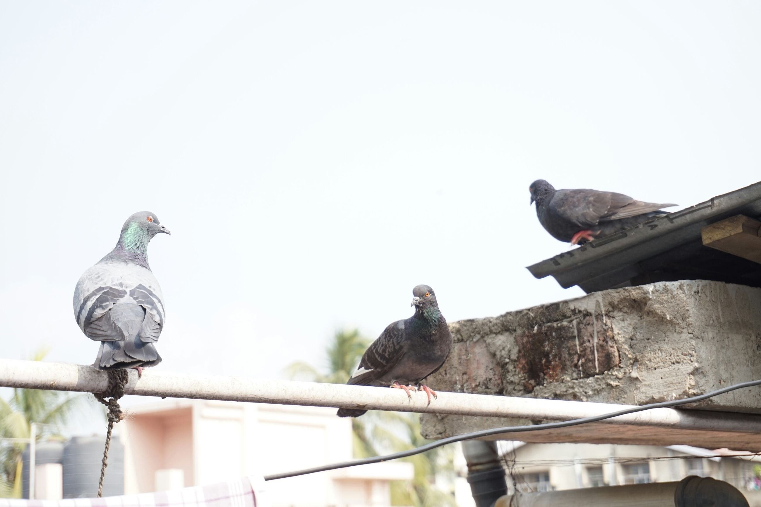 animal themes, bird, one animal, animals in the wild, wildlife, perching, pigeon, clear sky, roof, two animals, low angle view, copy space, outdoors, black color, day, bird of prey, close-up, no people, nature, focus on foreground