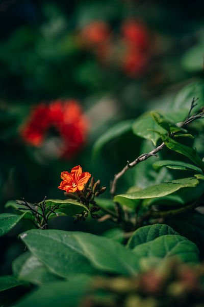 Little tropical orange flower growing on a lushful branch. The background is blurry and photograph taken during sunlight. Beautiful Bright Exotic Freshness Green Natural Nature Plant Backgrounds Beauty Beauty In Nature Bloom Blooming Blossom Color Colorful Flora Floral Flower Garden Indoors  Landscape Leaf Orange Color Petal