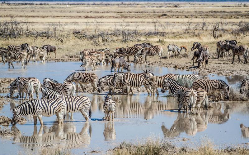 Zebras In Lake