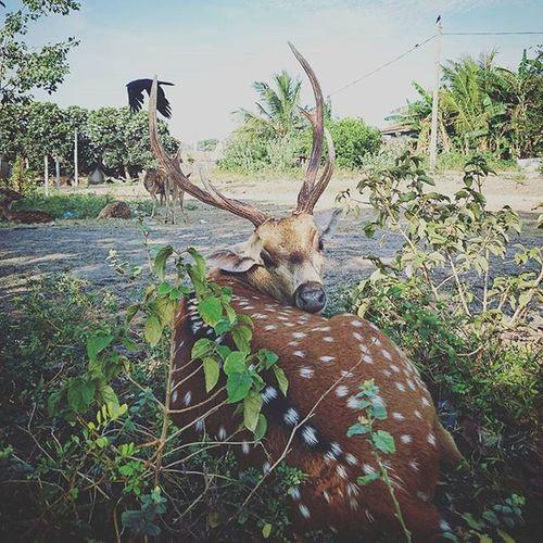 Hi~ Deer SriLanka Trincomalee Animal