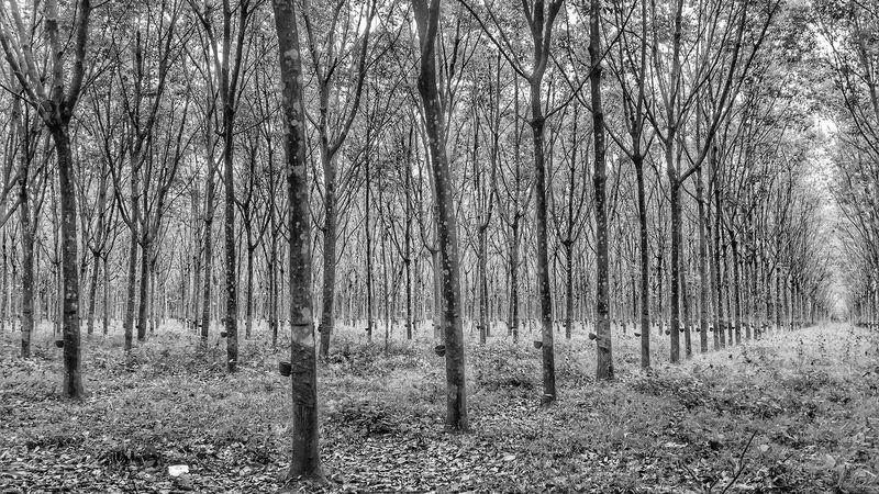 Rubber Plantation Trees Trunk Bare Tree