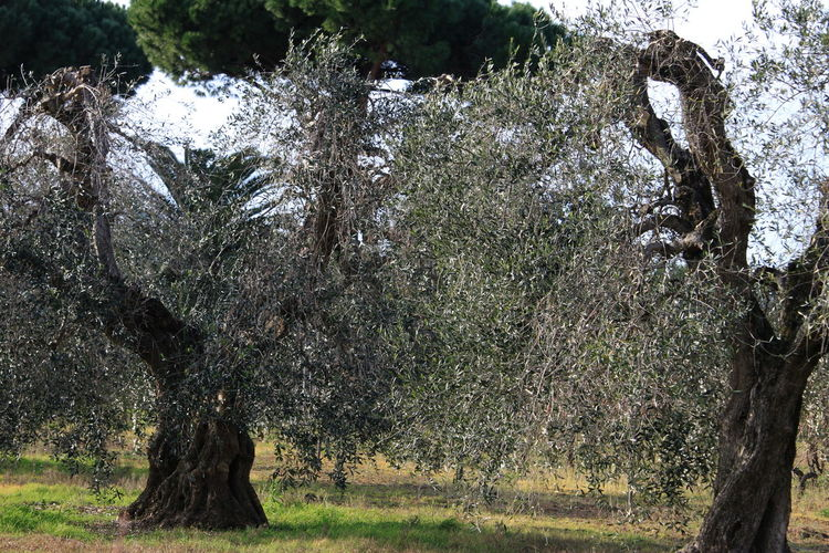 January 2017 Tuscany Countryside Beauty In Nature Branch Castagneto Carducci Centenary Olive Trees Day Growth Italy Nature No People Outdoors Scenics Tree Tree Trunk