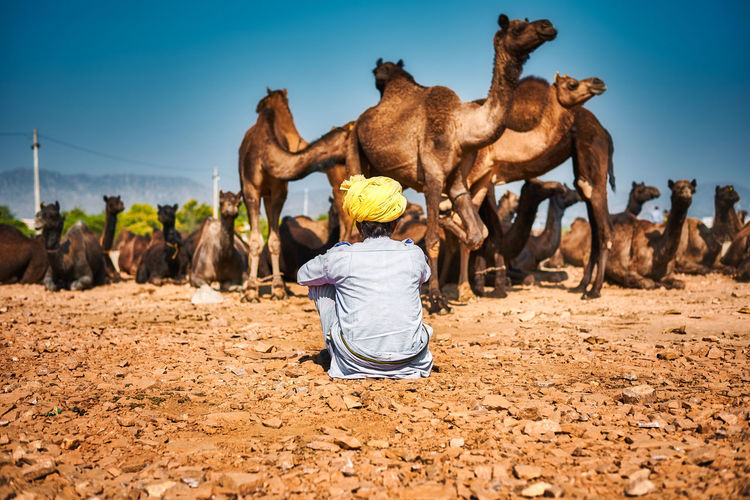Rear view of man sitting against camels at desert