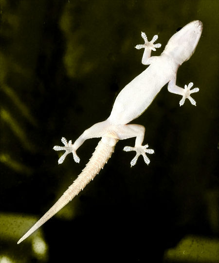 A gecko is climbing over a window
