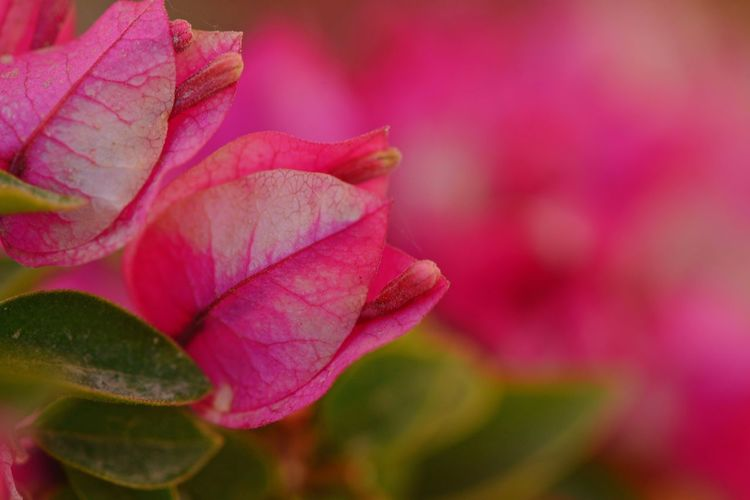 Bougainvillea Pink Color Beauty In Nature Flower Flowering Plant Close-up Vulnerability  Fragility Plant Freshness Petal Leaf Growth Flower Head Nature Springtime