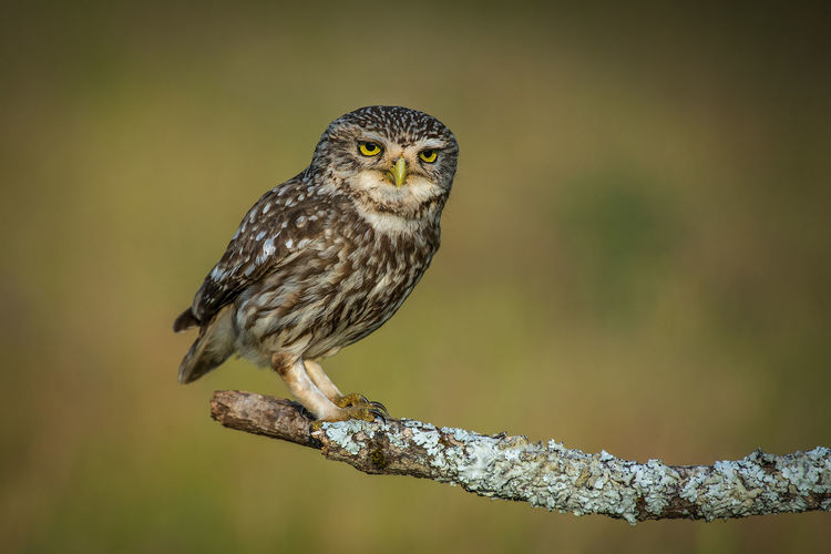 Owl Little Owl Athene Noctua Focus On Foreground Bird Animal Themes Animal Vertebrate One Animal Animal Wildlife Animals In The Wild Perching Day No People Close-up Nature Outdoors