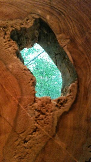 Tree Cypress Tree Hold Through Tree Hole In Tree Over 600 Yr Old Tree Tree Knot Hole Trees Through Tree Tree Cut In Half 1,000AD Showcase April