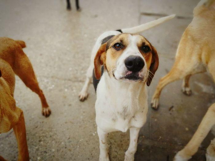 EyeEm Selects Beagle Pets Portrait Dog Looking At Camera