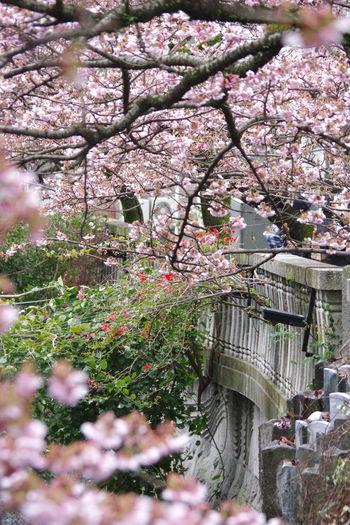 熱海桜 糸川遊歩道 静岡県