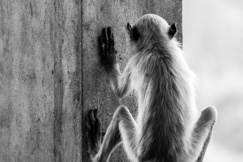Rear view of langur on wall