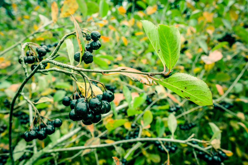 Leaf Plant Part Fruit Food And Drink Healthy Eating Food Plant Growth Berry Fruit Green Color Freshness Nature Close-up No People Day Focus On Foreground Wellbeing Tree Beauty In Nature Selective Focus Ripe Outdoors