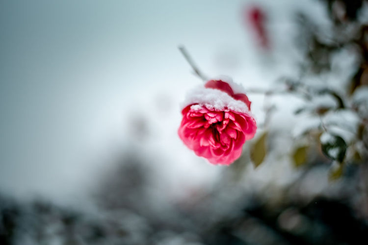 Rosé Sky Garden Winter Outdoors Flower Flowering Plant Plant Freshness Beauty In Nature Fragility Close-up Vulnerability  Rosé Selective Focus Nature Focus On Foreground Petal Rose - Flower No People Inflorescence Pink Color Flower Head Day Red Soft Focus Purity