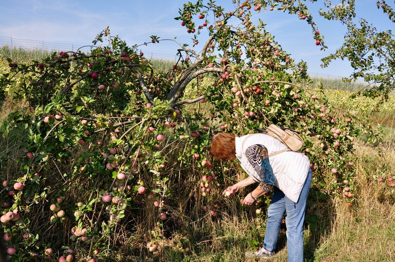 Side View Of Woman Picking Apples From Trees In Orchard