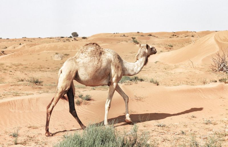 Camel Walking In A Desert