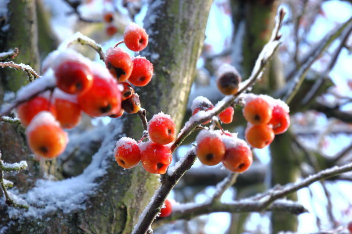 Crab apples on a snowy day Beauty In Nature Branch Close-up Cold Temperature Crab Apples Day Focus On Foreground Food Fruit Growth Nature No People Outdoors Red Snow Tree Winter