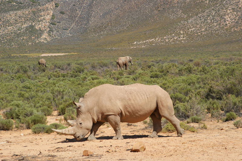 Rhinoceros and elephants on field