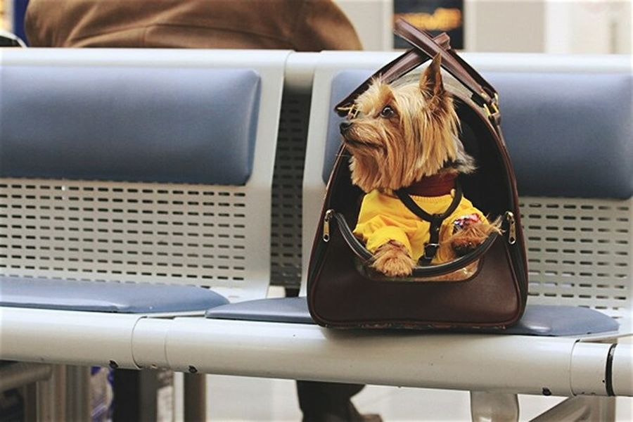 Brown Yellow Domestic Animals Animal Dog No People Traveling With Pets Yorkshire Terrier Pet Clothes Brown Bag Dog Traveller