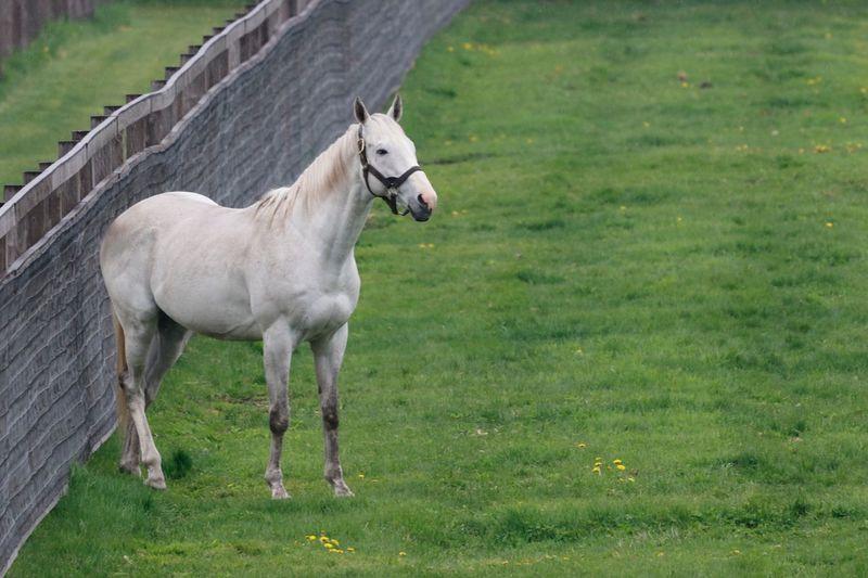 ゴールドシップ サラブレッド Thoroughbred EyeEm Selects Animal Animal Themes Mammal Domestic Animals One Animal Grass Horse No People