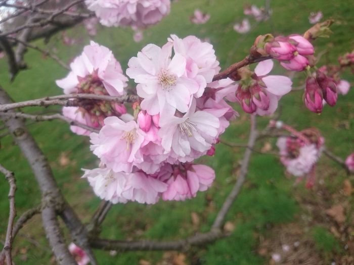 Beauty In Nature Blossom Botany Cherry Blossom Cherry Tree Close-up Day Flower Flower Head Flowering Plant Fragility Freshness Growth Inflorescence Nature No People Outdoors Petal Pink Color Plant Pollen Spring Springtime Tree Vulnerability