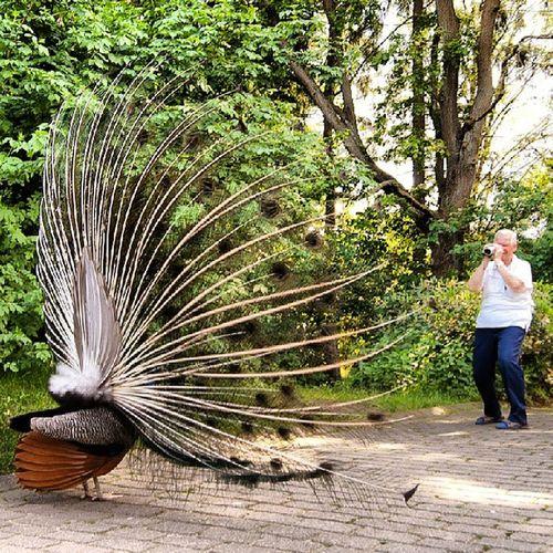 Man vs wild Peacock Pfau Animalspage Animal bird deutschland germany hh Hamburg hamburgmeineperle ilovehh welovehh igershamburg instaanimal neugraben natur picsta_nature picsta schwarzeberge tierpark tiere vogel wildpark