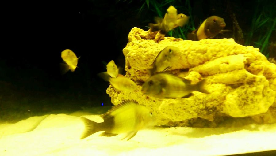 Tropheus Ikola And Bemba Beby Fish Yellow And Black Red And Black Photography